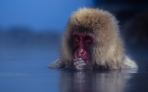 Картинка вода, мордочка, обезьяна, японский макак