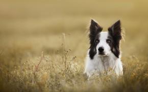 Картинка трава, взгляд, морда, собака, Бордер-колли