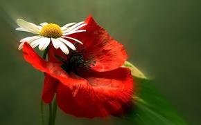 Картинка цветы, мак, ромашка