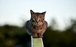 Обои забор, взгляд, кошка