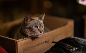 Картинка кошка, кот, коробка, мордочка