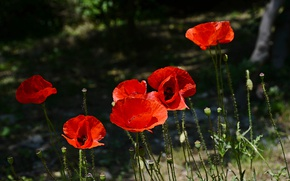 Картинка Весна, Spring, Red Poppies, Красные маки