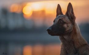 Картинка взгляд, свет, собака, боке, Бельгийская овчарка малинуа