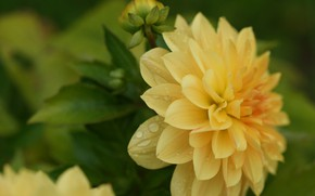 Картинка цветок, макро, лепестки, георгин