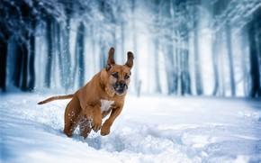 Обои Родезийский риджбек, прогулка, зима, снег, бег, собака
