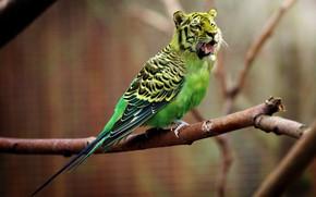 Картинка природа, тигр, попугай