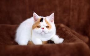 Картинка кошка, белый, котенок, фон, малыш, милый, ткань, носик, плед, котёнок, мордашка, сидит, коричневый, пестрый, экстремал, …