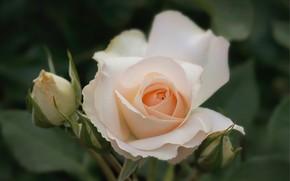 Картинка макро, роза, лепестки, бутоны