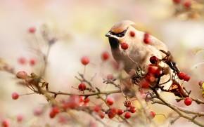 Картинка солнце, природа, ягоды, птица, ветка, боке, свиристель