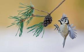 Обои птица, Франция, ветка, шишка, сосна, хохлатая синица