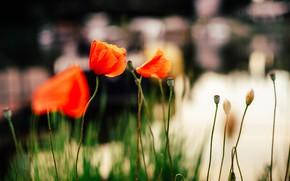 Картинка цветы, маки, лепестки