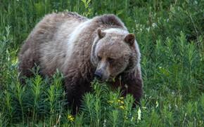 Картинка зелень, трава, медведь, на природе, бурый