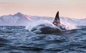 Обои кит, кит убийца, кОсатка