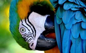Картинка птица, перья, клюв, попугай, сине-жёлтый ара