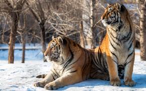Картинка зима, солнце, снег, деревья, хищники, двое, тигры, боке