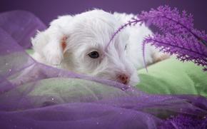 Картинка белый, милый, щенок, силихем-терьер