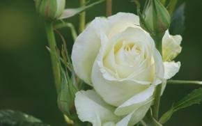 Картинка макро, роза, бутоны, белая роза