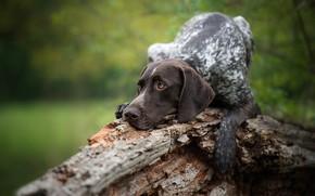 Картинка собака, коряга, легавая, Немецкий курцхаар
