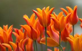 Картинка цветы, сад, тюльпаны, оранжевые
