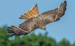 Картинка птица, крылья, хищник, охота