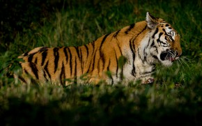 Картинка зелень, трава, кошки, тигр, фон, хищник, мясо, лежит, дикие кошки, дикая природа, обед, добыча, трапеза