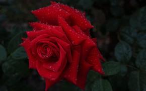 Картинка капли, макро, роза, лепестки, бутон, красная роза