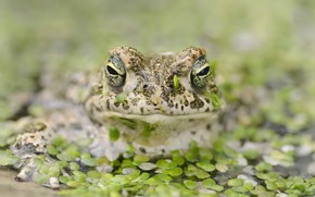 Картинка лягушка, пруд, природа