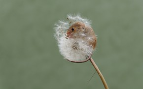 Картинка природа, одуванчик, мышка, мышь-малютка