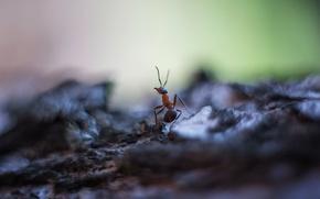 Картинка макро, фон, муравей, Насекомое