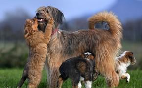 Картинка собаки, щенки, Валлер