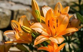Картинка лилия, оранжевая, тигровая