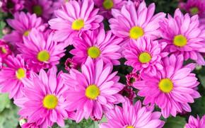 Картинка цветы, розовые, хризантемы, pink, flowers