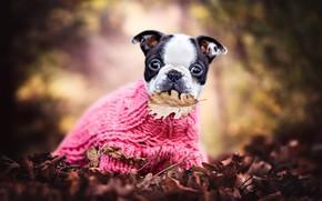 Обои пёсик, щенок, листик, листья, листва, настроение, свитер, осень, Французский бульдог