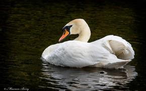 Картинка белый, птица, грация, лебедь, водоём, оперение
