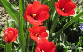 Картинка цветы, красные тюльпаны, апрель, весна 2018, Mamala ©