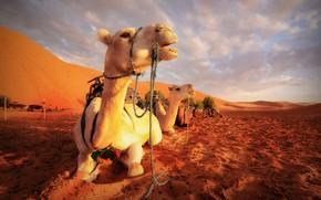 Картинка природа, пустыня, верблюды