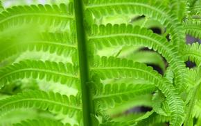 Картинка макро, природа, зеленый, папоротник, широкоформантый