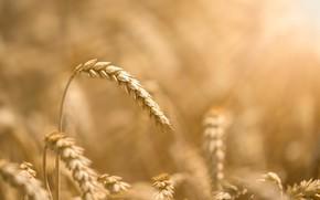 Картинка пшеница, поле, колосок