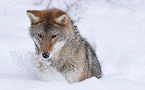 Картинка зима, снег, хищник, Койот