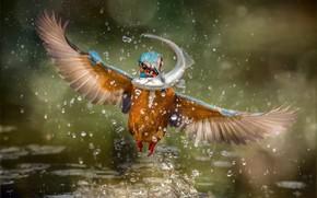 Картинка брызги, птица, рыба, зимородок, kingfisher, улов