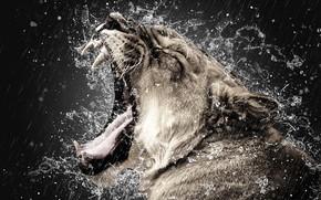Картинка капли, дождь, зубы, пасть, львица