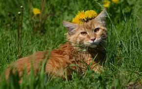 Картинка зелень, кошка, трава, кот, взгляд, свет, цветы, природа, котенок, поляна, весна, пушистый, рыжий, мордочка, лежит, …
