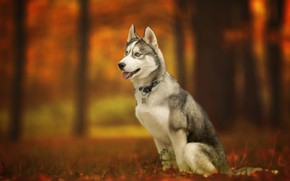 Обои Хаски, осень, собака, боке