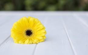 Картинка цветок, макро, желтый, гербера