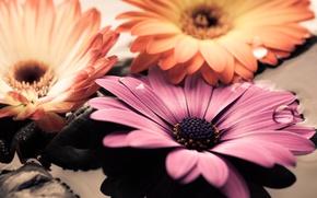 Картинка вода, камни, colorful, flowers, гербера, gerbera, остеоспермум
