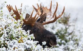 Обои снег, лось, рога