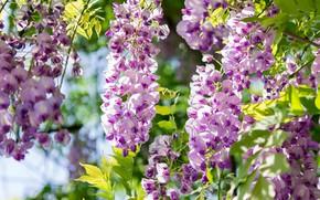 Картинка Весна, Spring, Acacia, Акация, Purple acacia