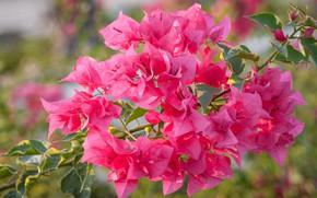 Картинка цветы, розовый, ветка, цветение