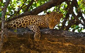 Обои леопард, лежит, на дереве, хищник, природа, ветки, листья