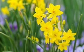 Картинка весна, лепестки, нарцисс